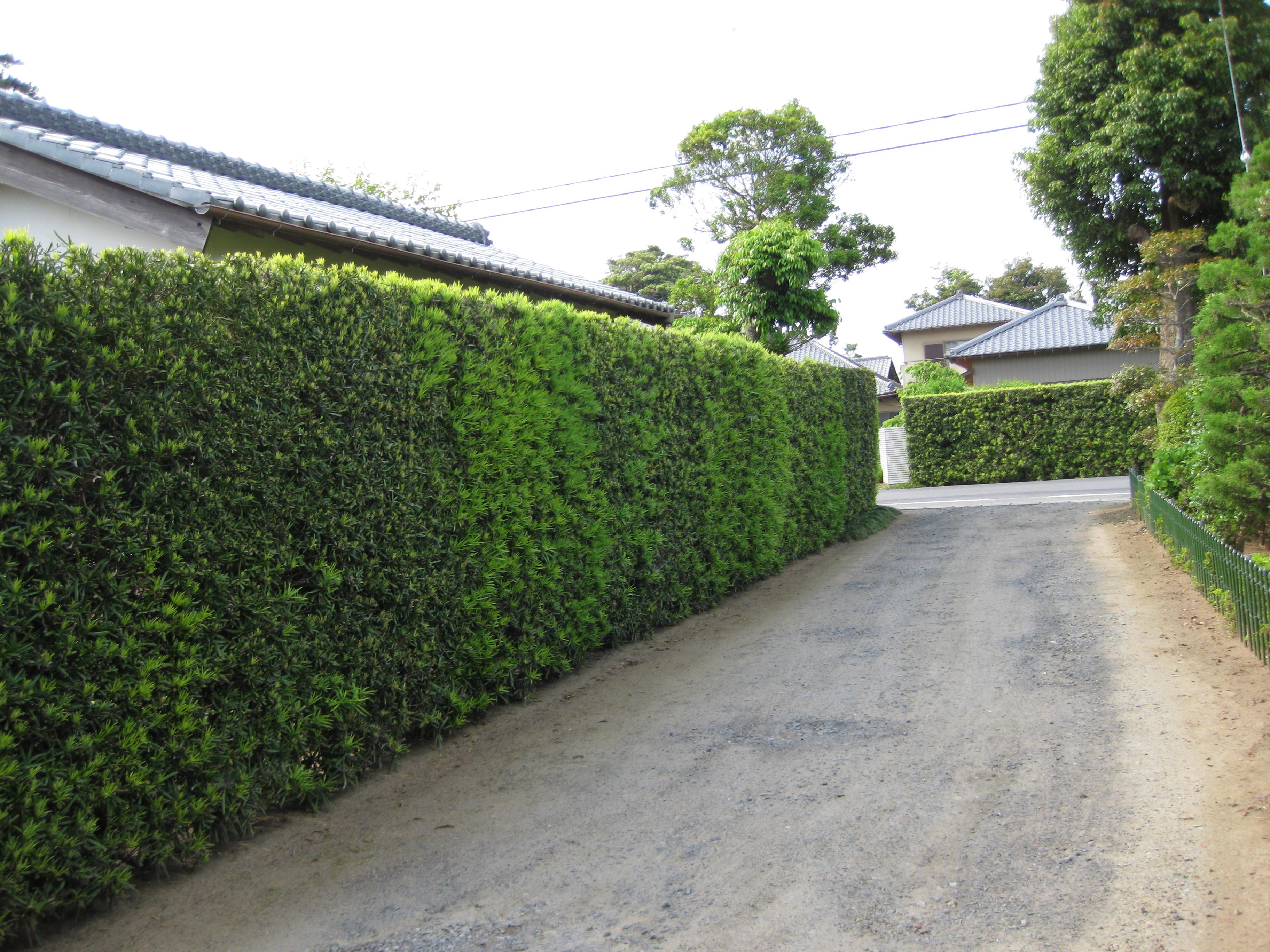 podocarpo no jardim japonês